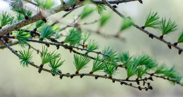 The needle leaves of the larch are opening out.