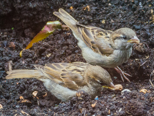 These young sparrows are learning the secret of hacking into peanuts