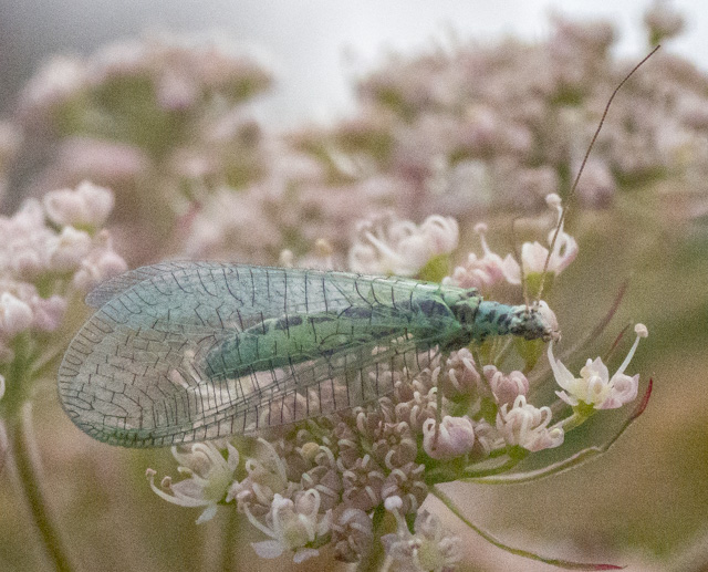 The lacewing was ISO 8000.   Acceptable, just.