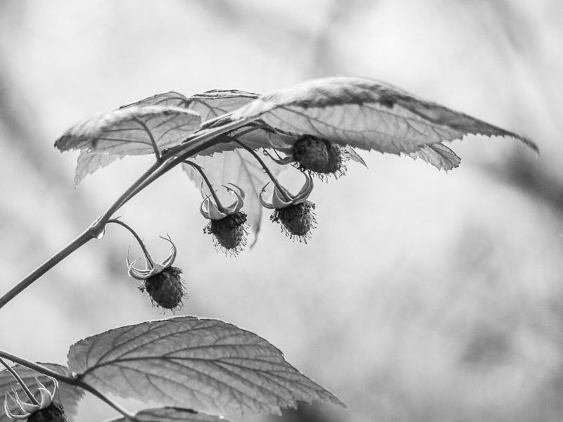 Raspberrys in the shade